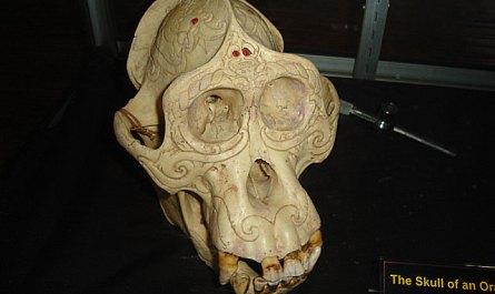 Skull of Orang utan