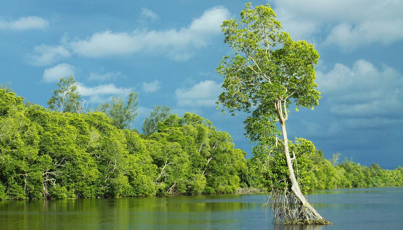 Mangrove forest of Membakut