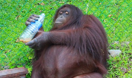 Jackie the orangutan of Poring