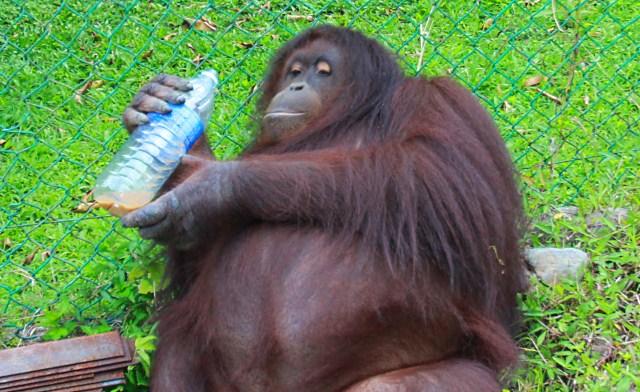 Jackie, orangutan who owns a house