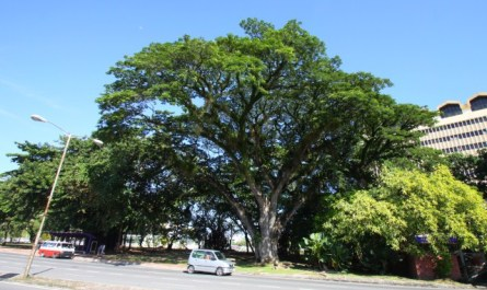 The Oldest Tree of Kota Kinabalu