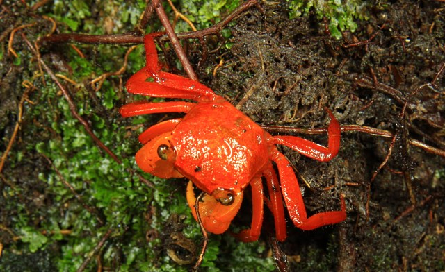 Land crab of Mt. Silam