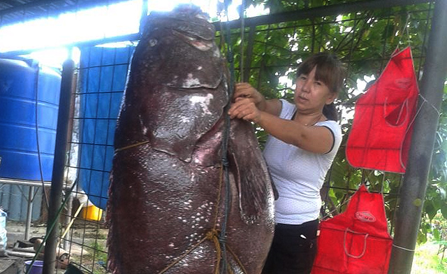 Giant Grouper, the ultimate seafood of Sabah