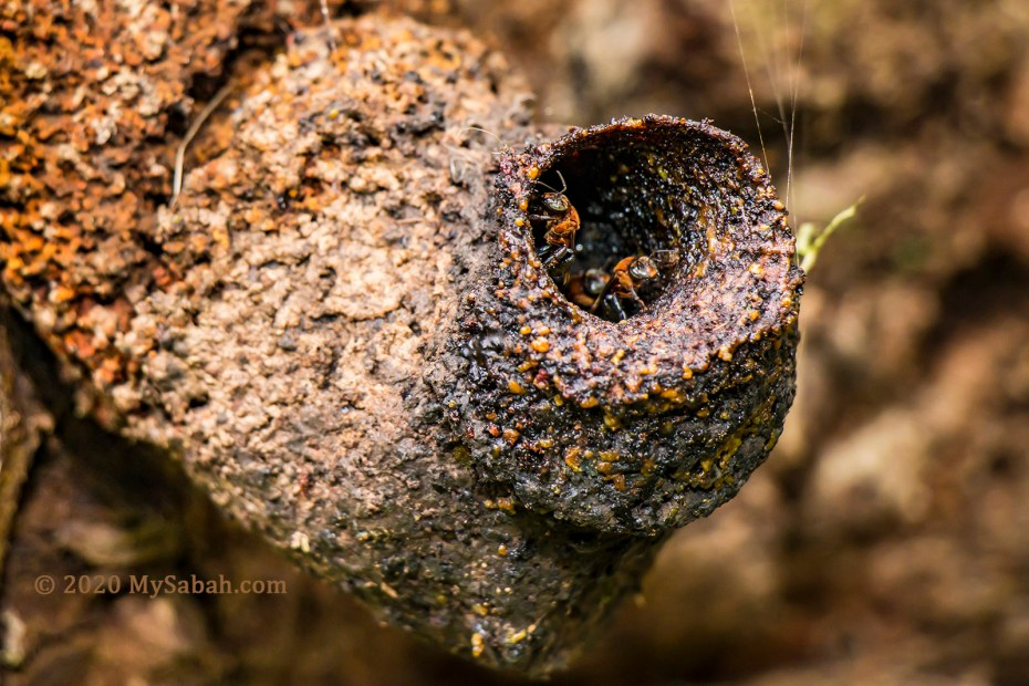 Geniotrigona thoracica species of Stingless Bees