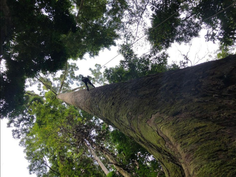 Climbing Menara, the tallest tropical tree in the world