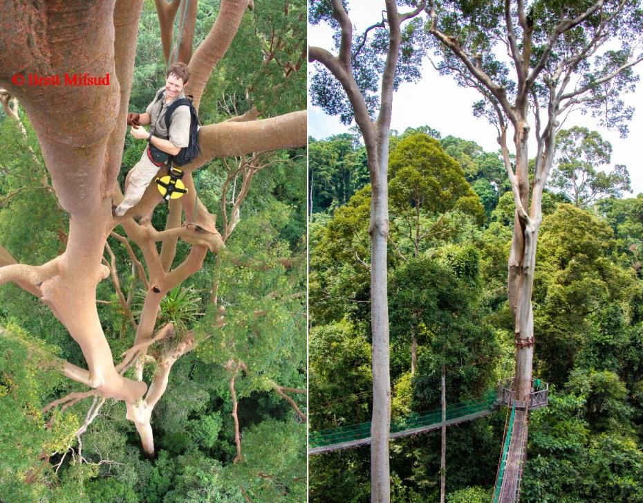 Left: 85.76-Metre-tall Menggaris tree (Pontiankak Putih Cantik). Right: Menggaris trees (species: Koompassia excelsa)