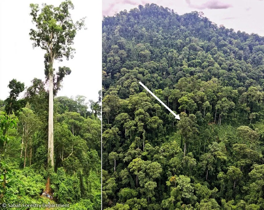 Left: Lahad Datu tree with the people at its bottom. Right: Looking at the Lahad Datu tree from a helicopter.