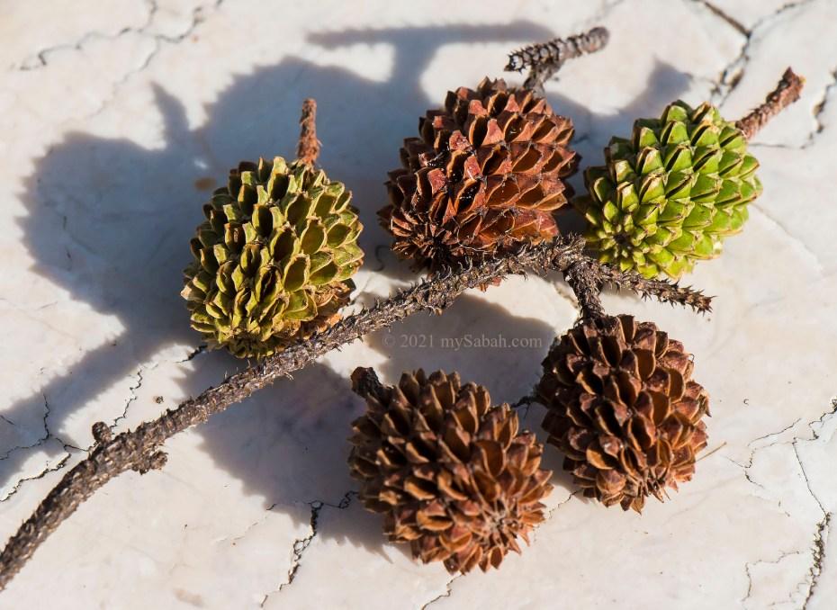 The tiny cone seeds of casuarina tree