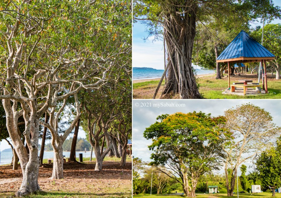 The beautiful trees in Prince Philip Park of Tanjung Aru Beach