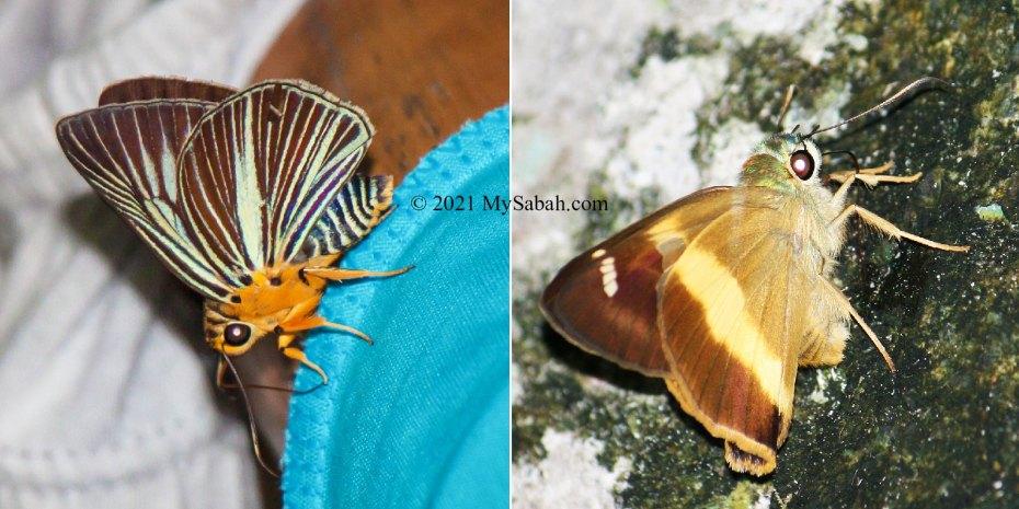 Sabah butterflies in Hesperiidae family