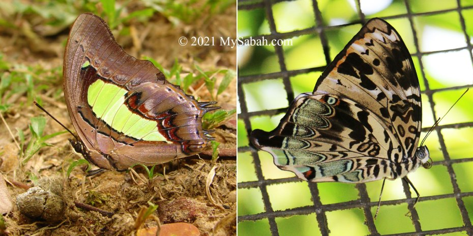 Polyura moori saida (Malayan Nawab) and Prothoe franck borneensis (The Blue Begum)