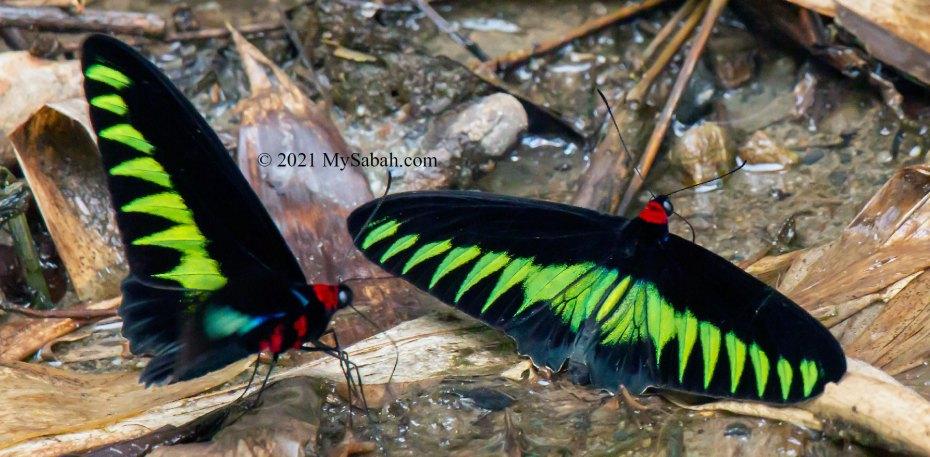 Two Rajah Brooke's Birdwing (Trogonoptera brookiana brookiana) sipping water around creek area under the shade