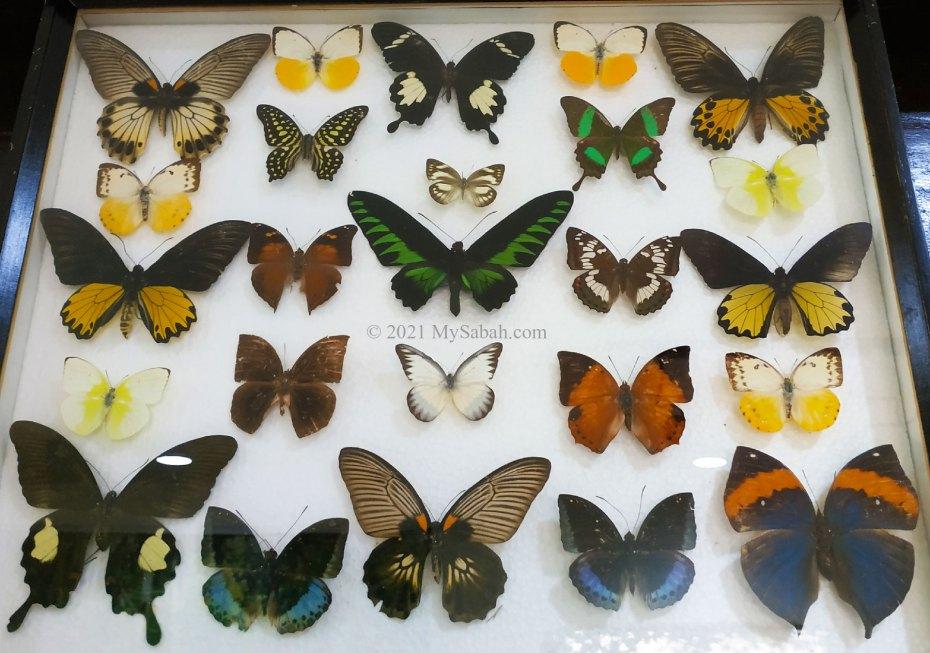 Specimens of endemic Borneo butterflies