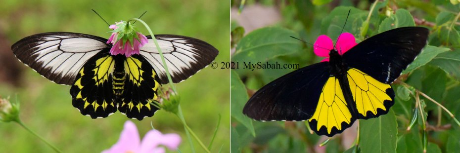 Male and female Borneo or Kinabalu Birdwing Butterfly (Troides andromache andromache)