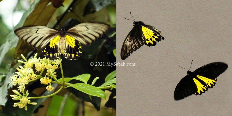Golden Birdwing (Troides amphrysus ) from Kinabatangan and Common Birdwing (Troides helena) from Poring