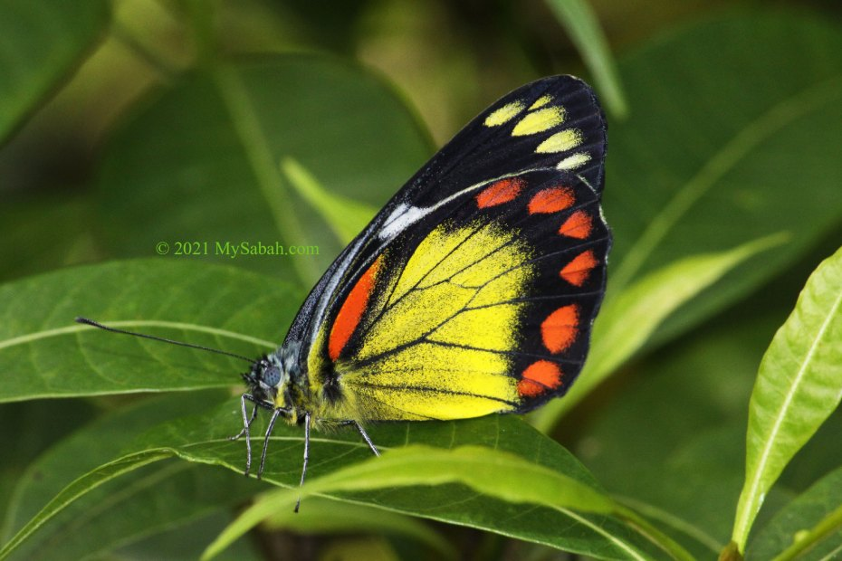 Bornean Jezebel (Delias eumolpe eumolpe) butterfly