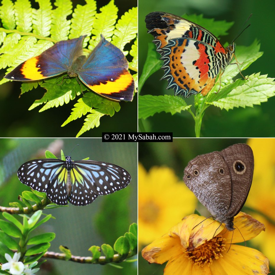 Butterflies of Sabah Borneo in Nymphalidae family