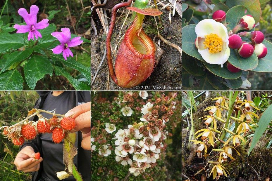 Flora of Kinabalu Park