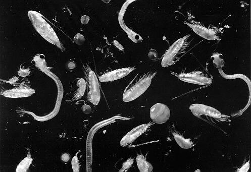 https://i0.wp.com/www.mysciencebox.org/files/images/plankton.jpg