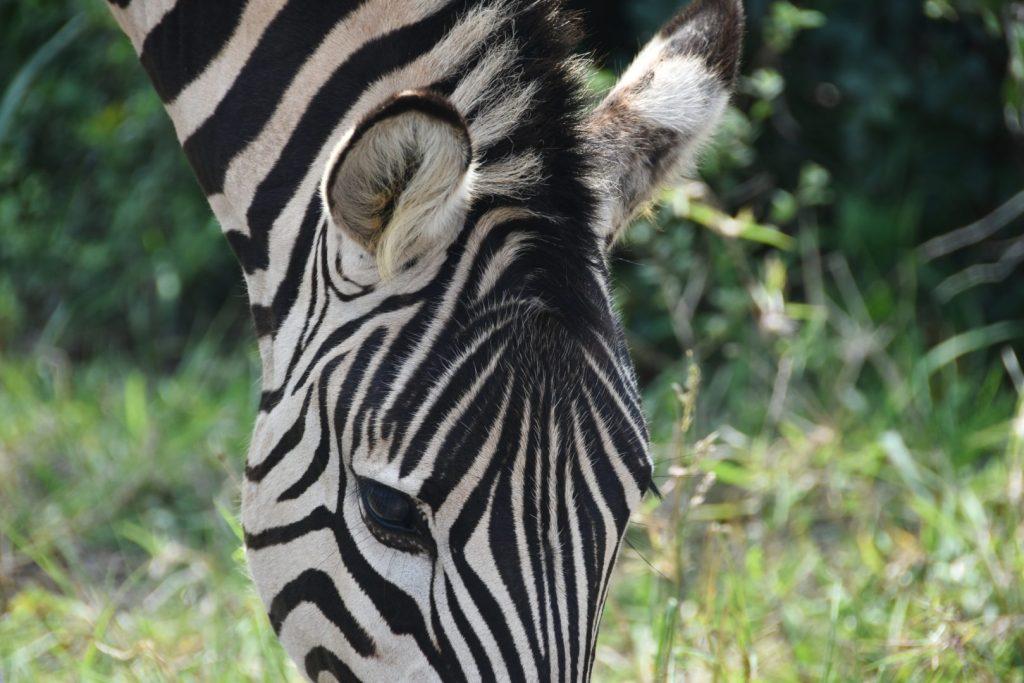 Zebra al Kruger