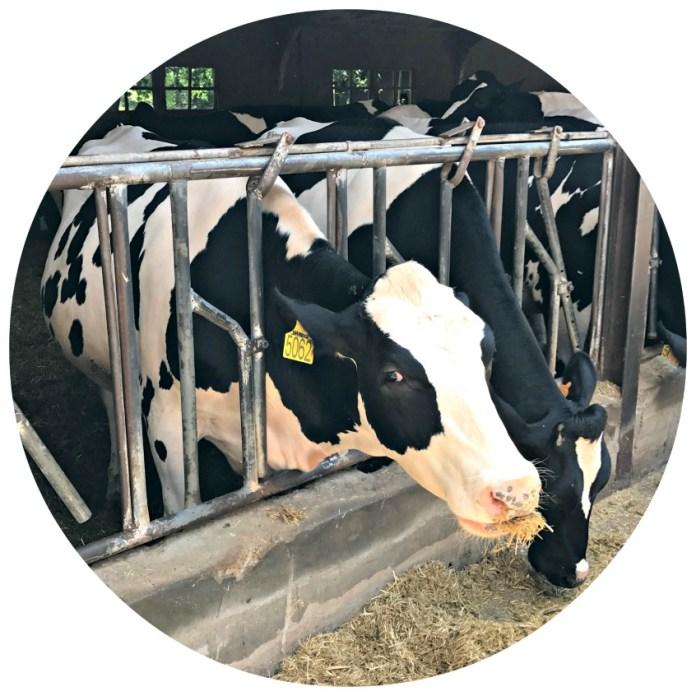 Alt_primer plano de una de las vacas Holstein de la granja de la Fageda