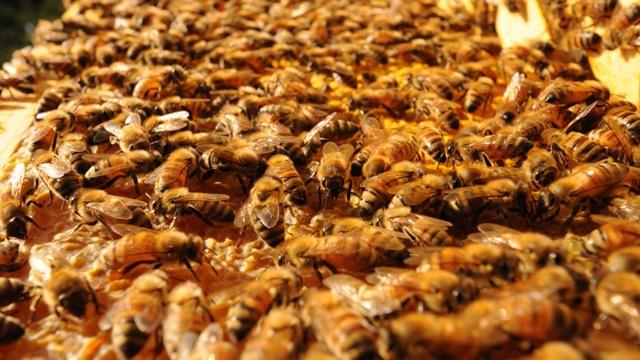 animal attacks - bees_3370340449400505-159532