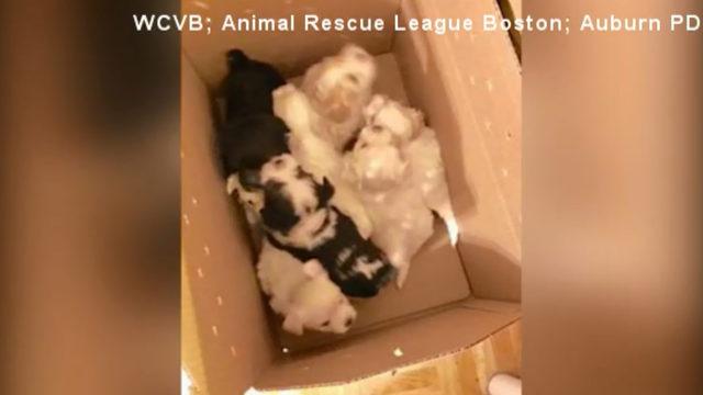61 dogs cats rescued from hoarder home Massachusetts_1519926919720.jpg_347722_ver1.0_640_360_1526219637002.jpg.jpg