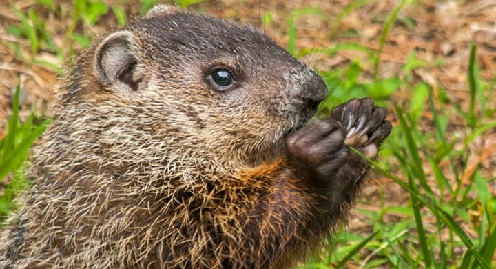 baby groundhog_1554920464241.jpg.jpg