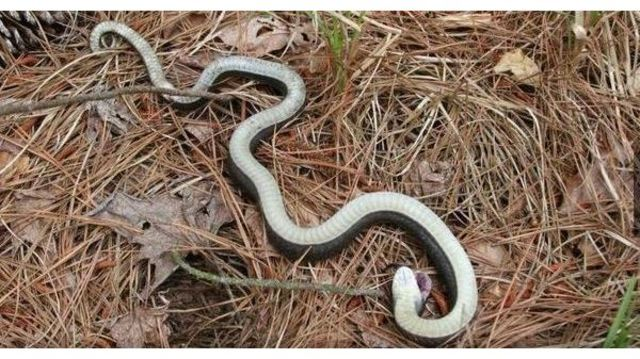 Zombie snake' in North Carolina can 'play dead' officials warn