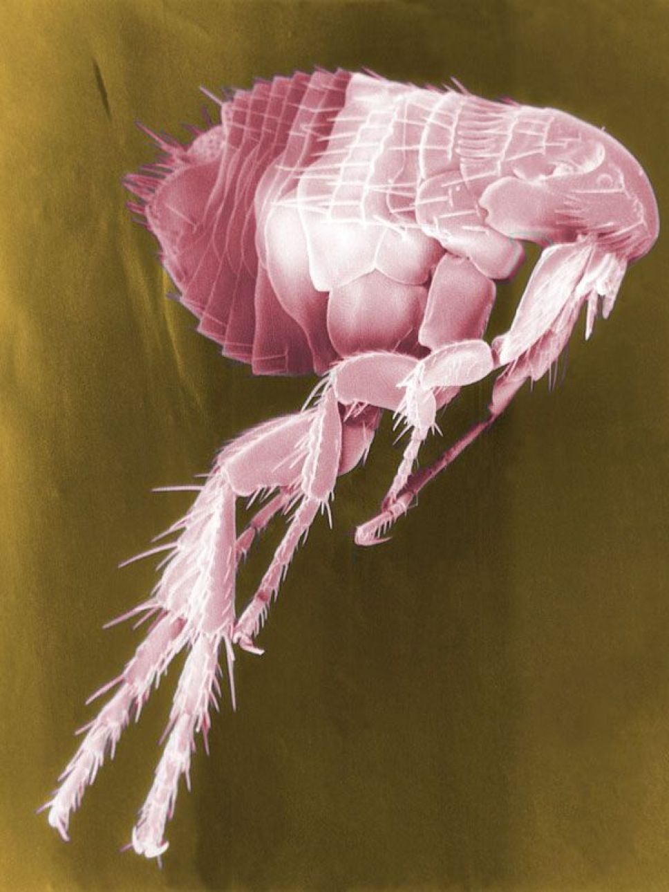 Fleas, like this one, carry many diseases that can infect humans when fleas bite. Not least among these diseases is plague, caused by the bacterium Yersinia pestis, which is blamed for causing the Black Death in Europe.