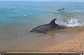 Δελφίνι κυνηγάει στα ρηχά