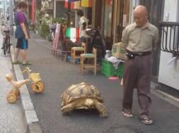 Τεράστια χελώνα για κατοικίδιο