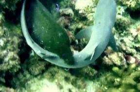 Σμέρνα επιτίθεται και τρώει καρχαρία