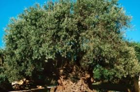 Η αρχαιότερη ελιά του κόσμου