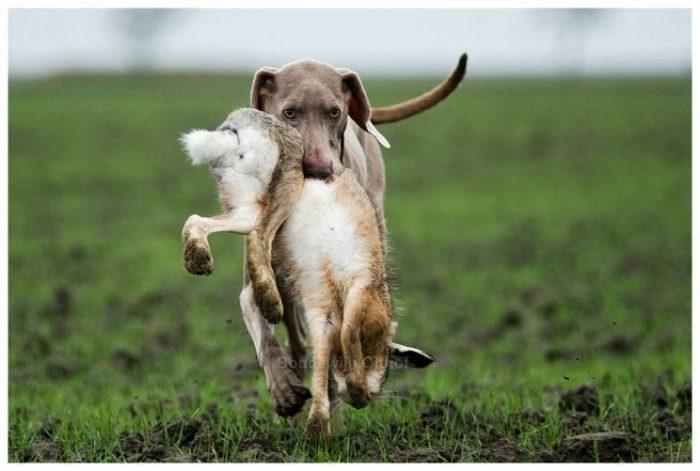 retrieving hare