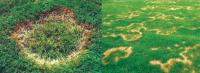 Excessive Rain Spells Lawn Fungus | Lawn Care Denver