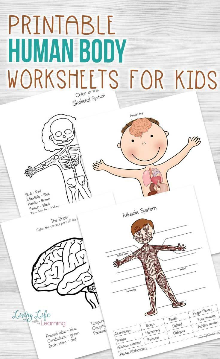 10 Human Body Worksheets for 2nd Grade - Free Templates [ 1200 x 735 Pixel ]