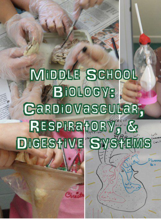 Cardiovascular Respiratory & Digestive Systems Lesson for Middle School Biology