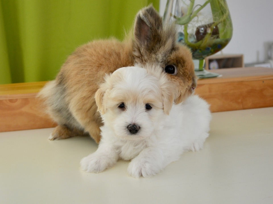 pet white fluffy puppy and brown long hair rabbit sat together