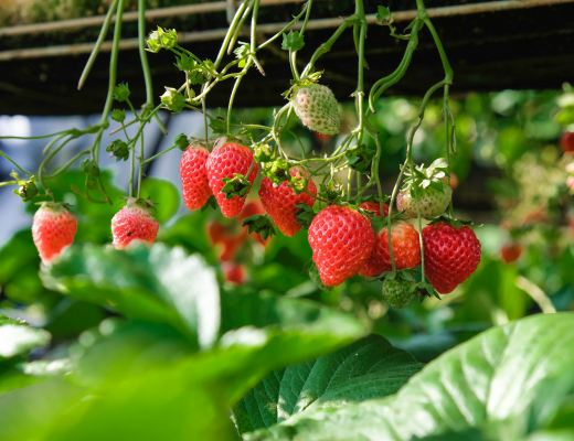 Lot of strawberries on a plant