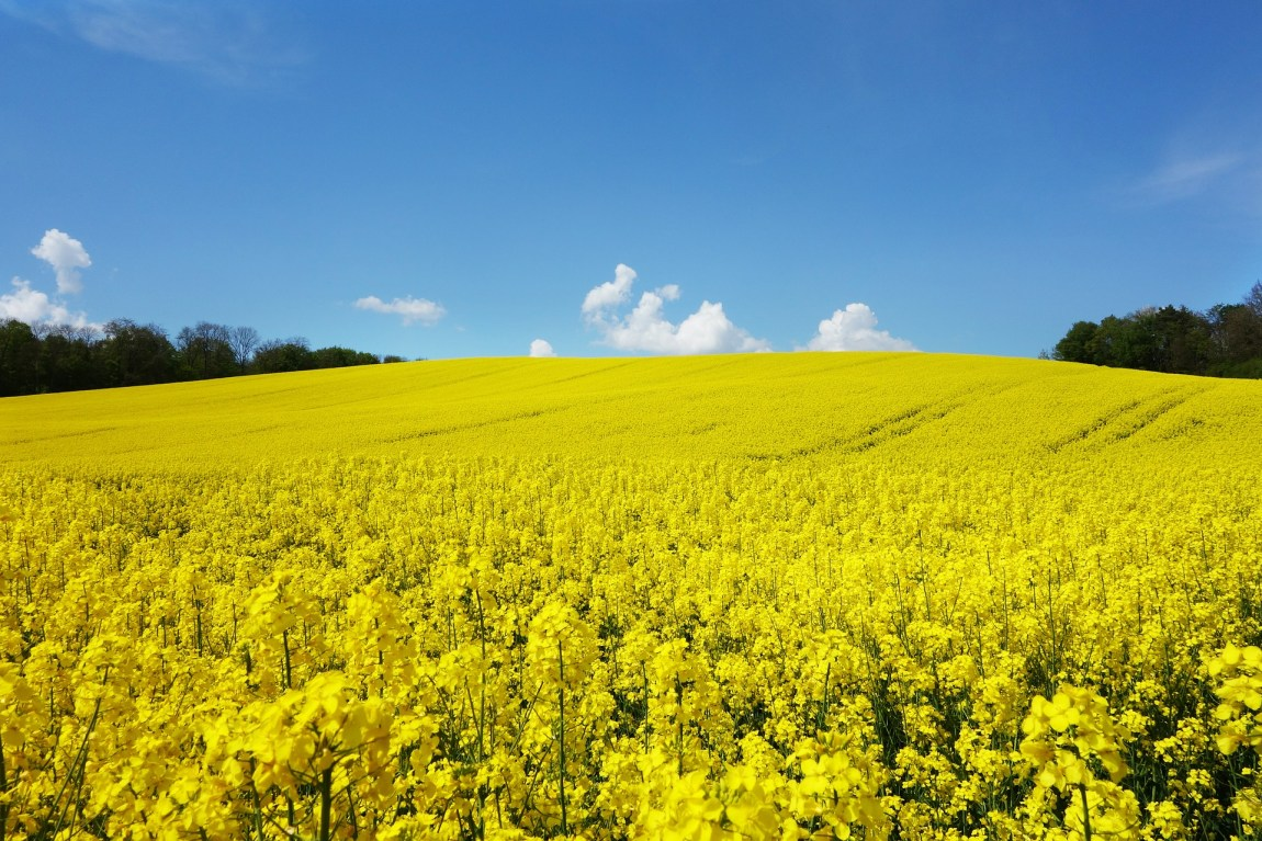 rapeseed in full bloom