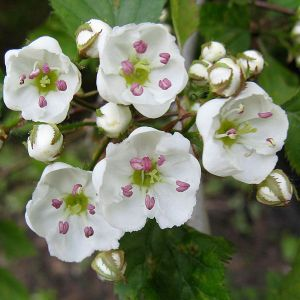 Hawthorne flowers.