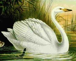 Finnish bird: the whooper swan