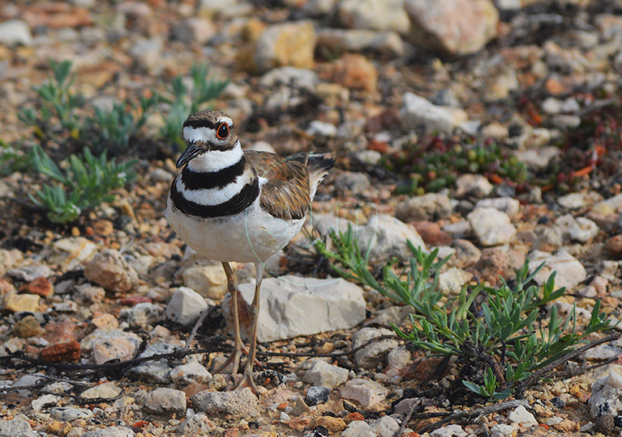 Killdeer Staring at Us