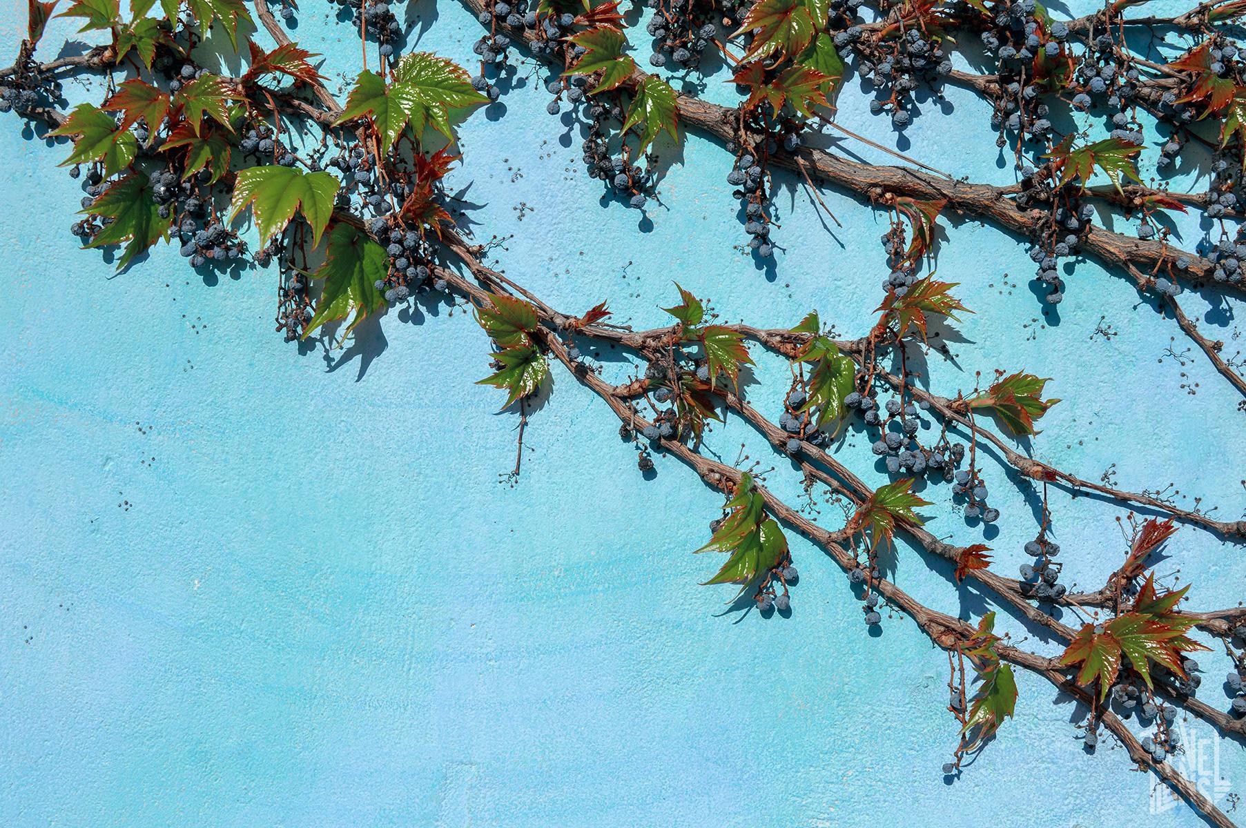 Vines on a blue building - up close