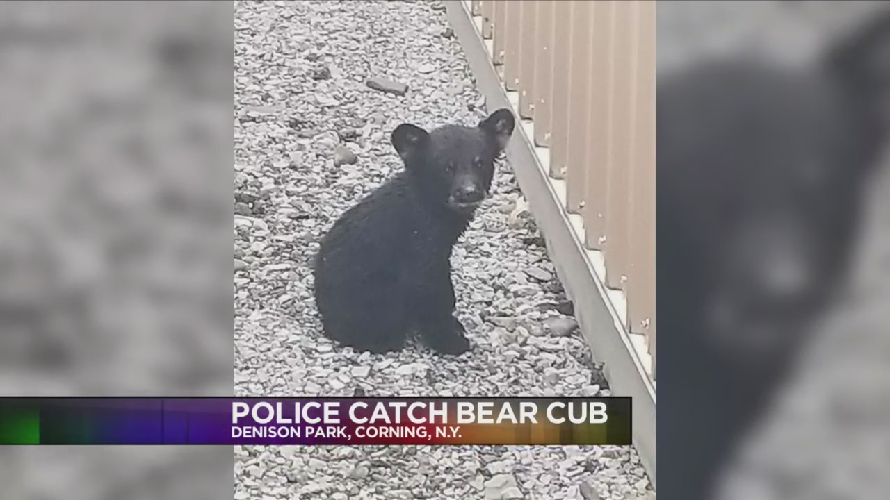 bear_cub_found_in_Corning_0_20180520232741