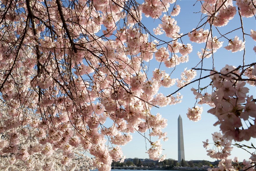 ss-190401-cherry-blossoms-washington-update-03_2fb1bc17f8567b73695195f2d3ab2745.fit-880w_1554157289673.jpg
