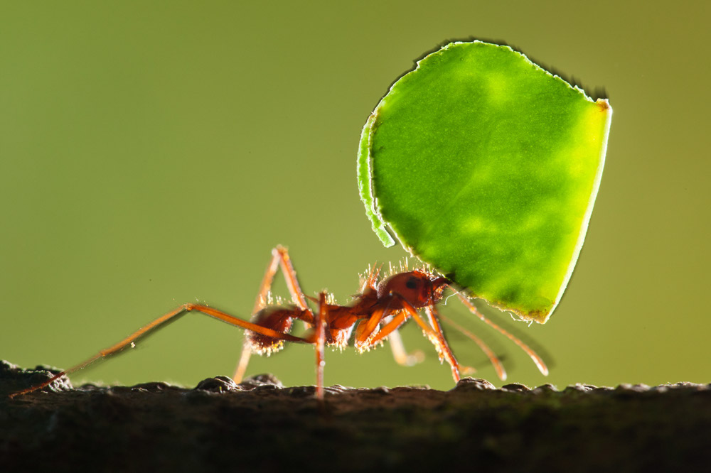 leaf cut ant, Peru, Amazon, Jungle, Rainforest, adventure, weird insects