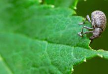 Ravageurs des végétaux: et voici l'otiorhynque