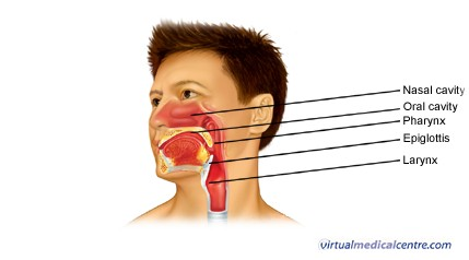 diagram of the nose and its functions wiring diagrams software anatomy physiology nasal cavity inner mucosa image